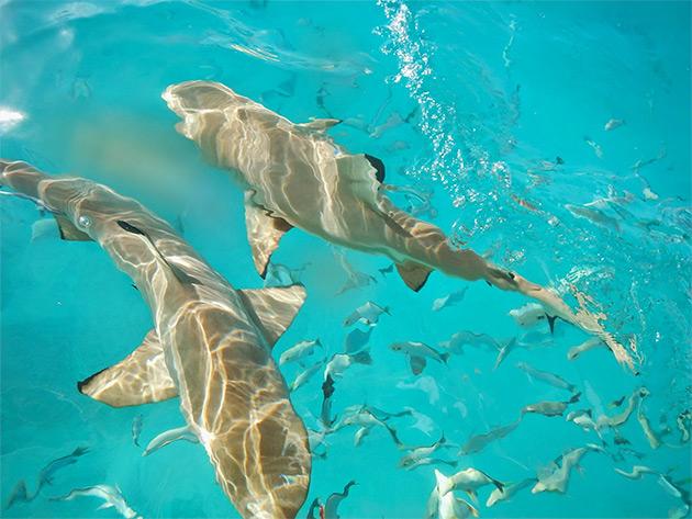 Рангироа - столица акул